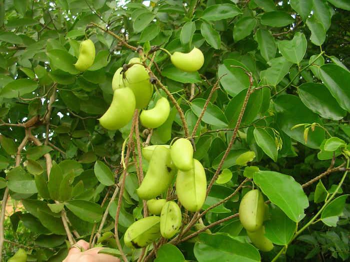 exemple griffonia plante arbre avec des graines antidépresseur homéopathique efficace