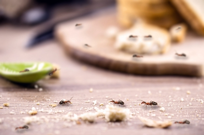 faire fuir les fourmis nourriture ménage propriété répulsif naturel contre insectes zeste citron