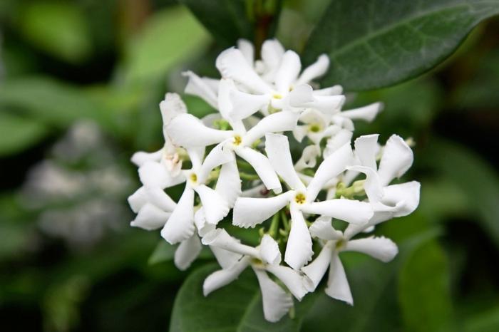 jasmin grimpant étoile cultivation maison jardinage conseils plantes