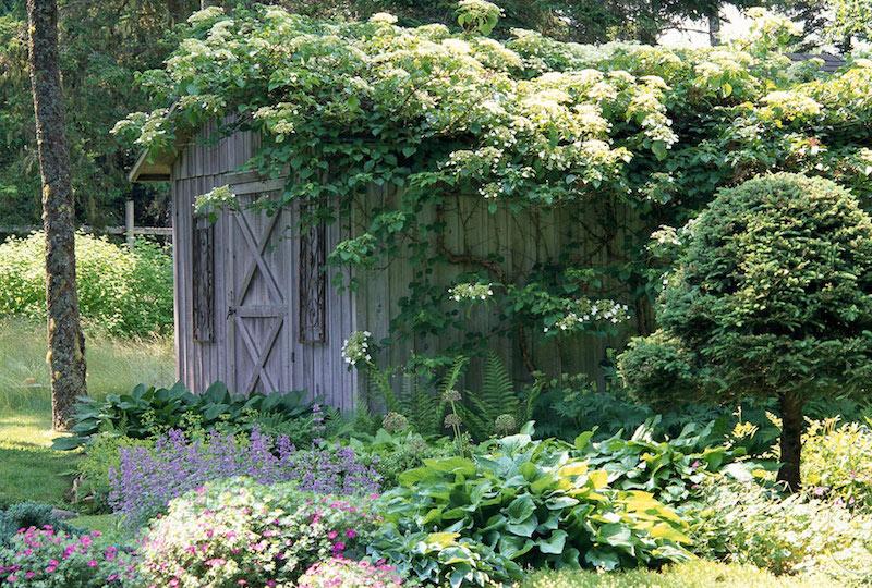 idee deco mur exterieur jardin avec des plante hortensia grimpante à fleurs blanches