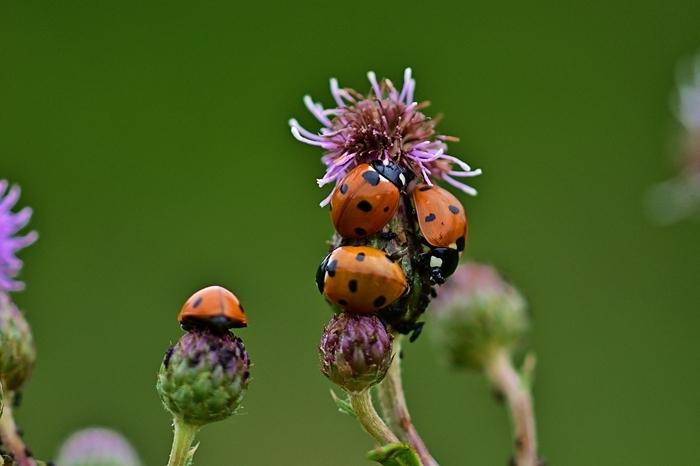 insectes utiles contre les pucerons remèdes contre les pucerons ennemis naturels des parasites dans le jardin