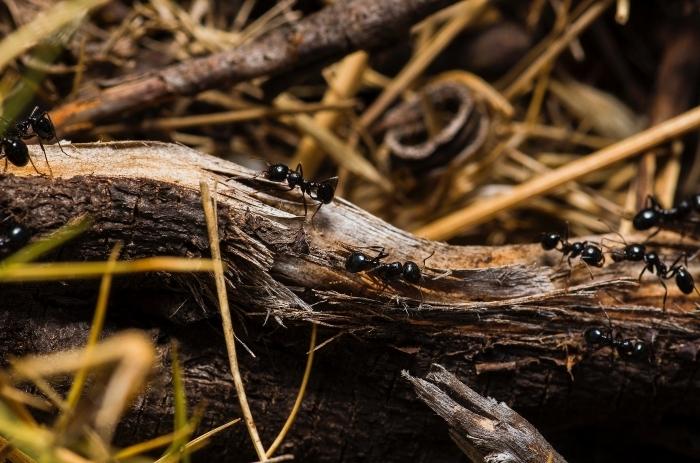 invasion insectes extérieur comment tuer les fourmis dans le jardin méthode efficaces dégâts bois fourmis