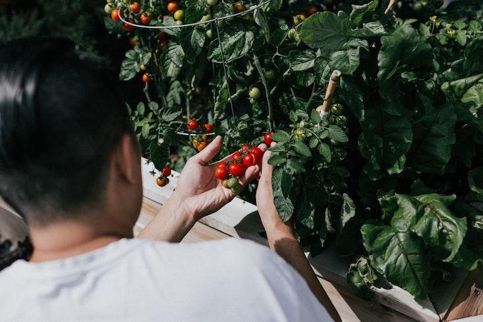 jardinage partagé sans entreprise jardinage ceuillir des tomantes cerises dans potager
