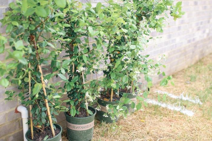 jasmin étoilé grillage des jasmins étoilés plantés près d un mur
