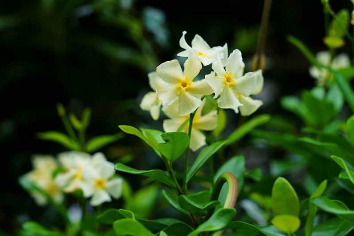 jasmin étoilé grimpant espèce asiatique avec des fleurs petites et jaunes