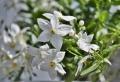 Le jasmin étoilé grimpant – la plante que vous devez avoir !