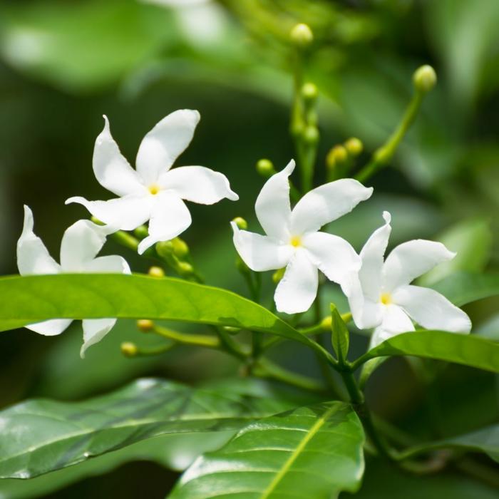 jasmin étoilé grimpant les feuilles vertes et les fleurs blanches du jasmin
