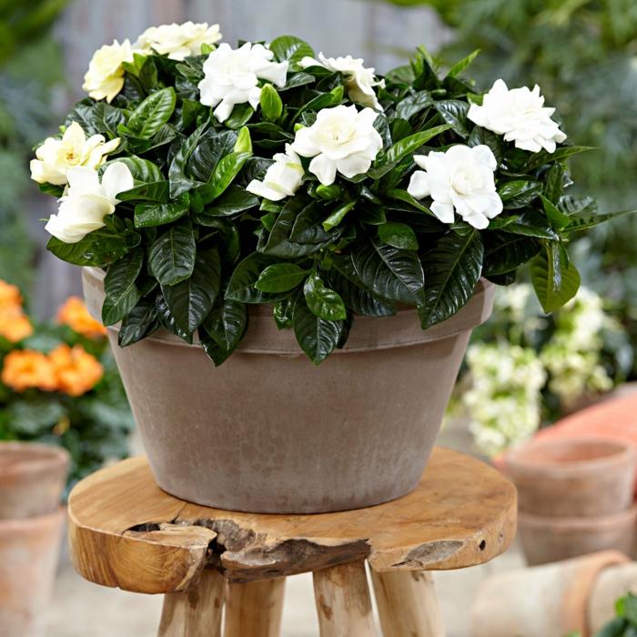 jasmin d été jasmin de cap dans un pot avec des fleurs blanches