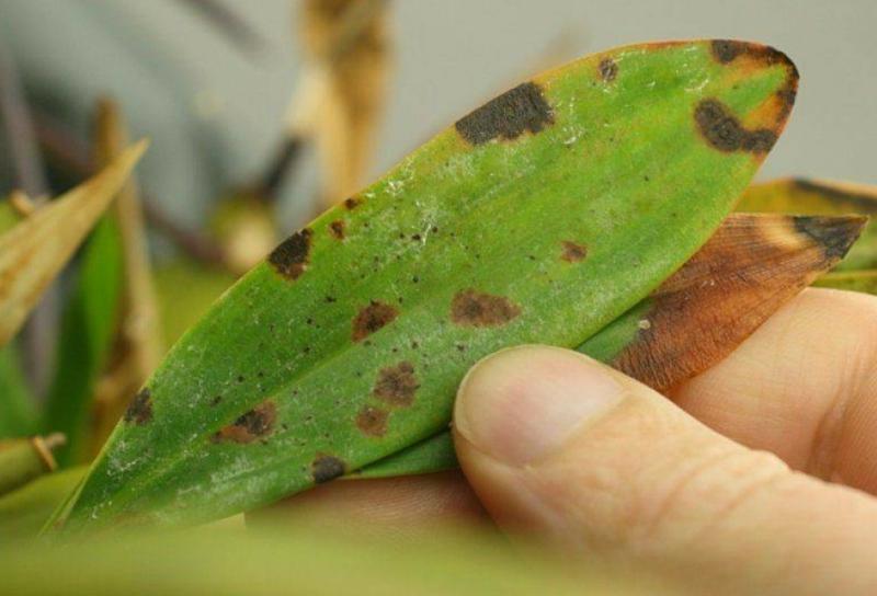 maladie orchidée maladies bactériennes qui créent des taches noires