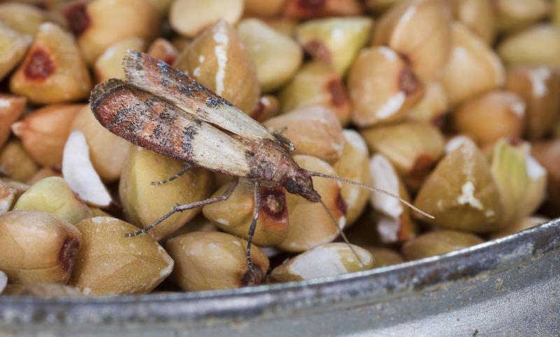 mites alimentaire que faire mite dans les grains