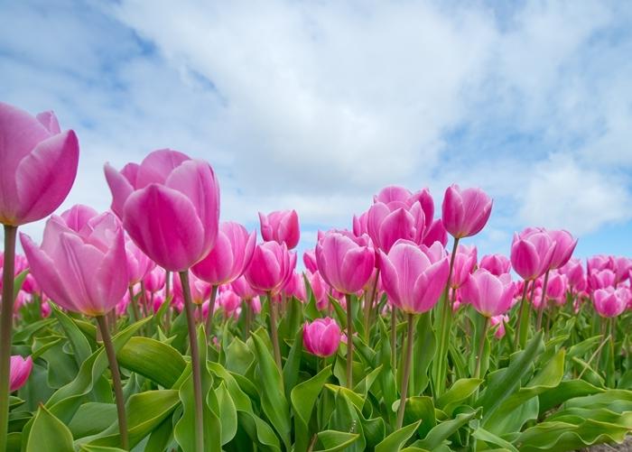 moyens efficaces remèdes maison conseils jardinage rose tulipe comment lutter contre les pucerons