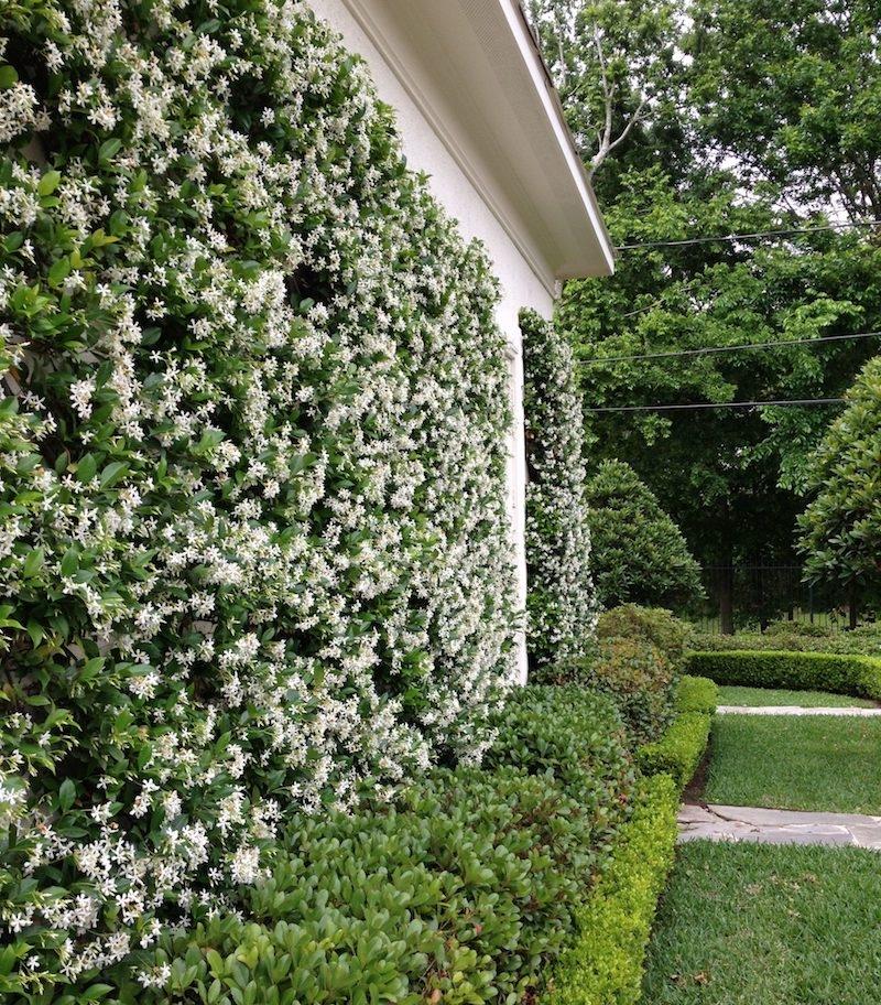mur recouverte de jasmin étoilé comment cacher un vilain mur exterieur de maison