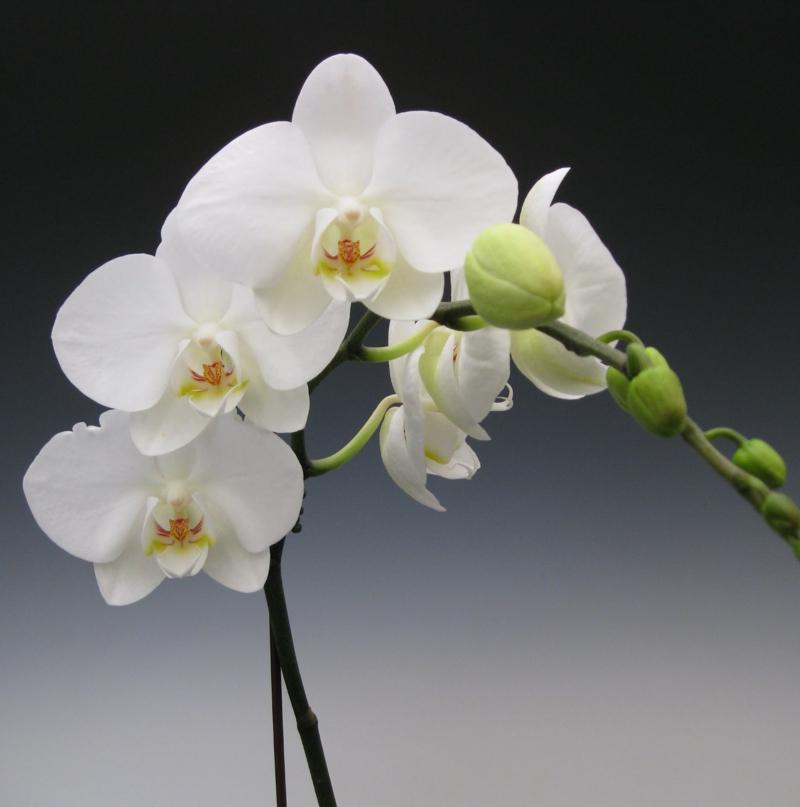 orchidée phalaenopsis une orchidiée qui a fleuri en blanc