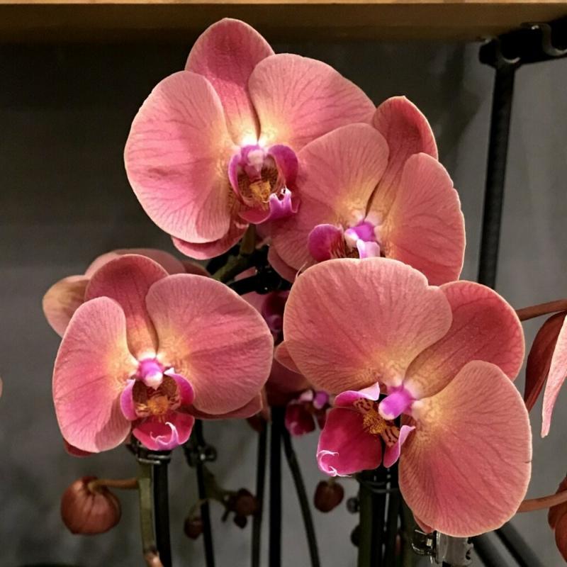 orchidée phalaenopsis une orchidiée qui a fleuri en corail