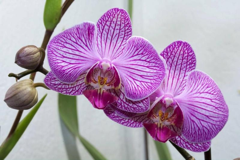 orchidée phalaenopsis une orchidiée qui a fleuri en rose