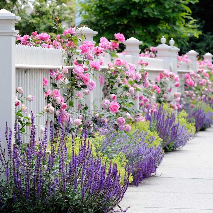parterre de fleurs sans entretien rosier et arbustes fleuris cloture blanche