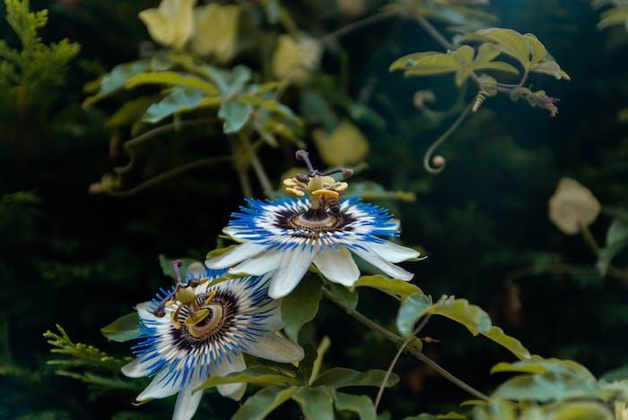 passiflore plante fleur anti depresseur leger pour cas de déprime moyenne à légère et crise d angoisse