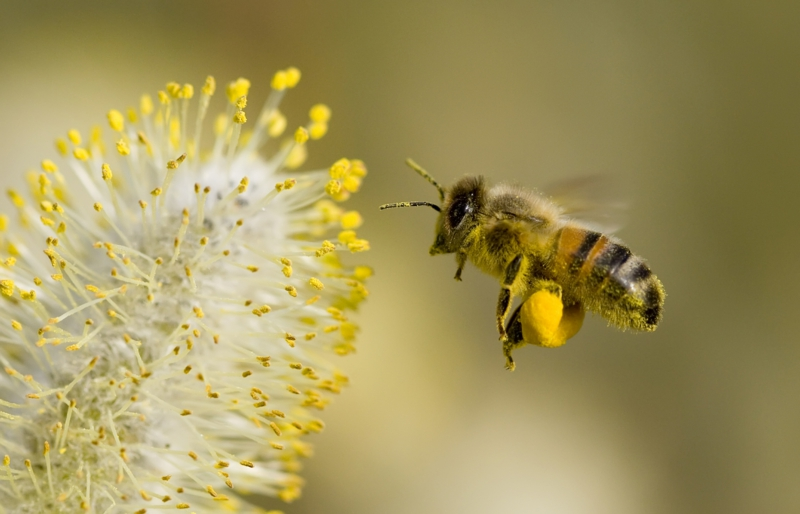piqure d abeille une abeille qui récolte du pollen