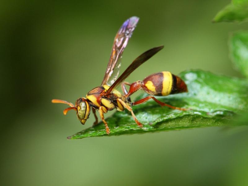 piqures d insectes guêpe maçonne sur une feuille