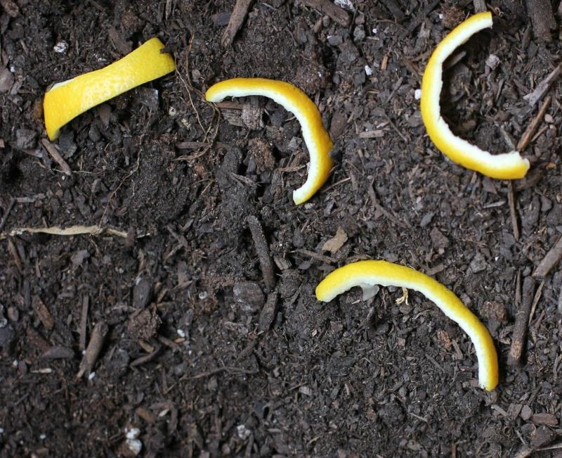 plante anti chat zestes de citron dans le jardin