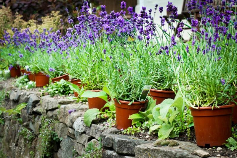 plante repulsif chat lavande en pot dans le jardin