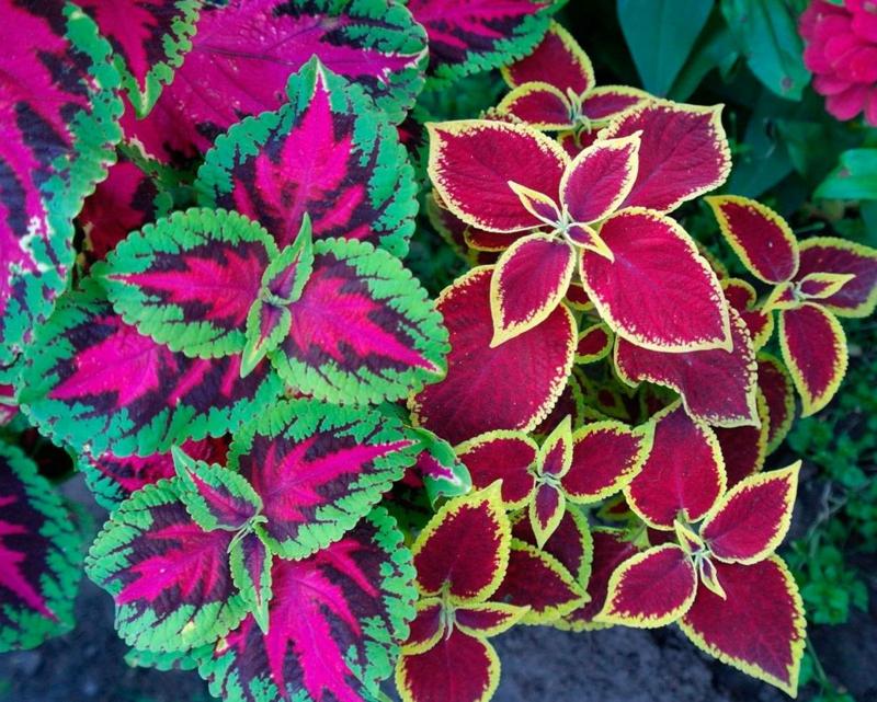 plante repulsif chat le coléus dans le jardin