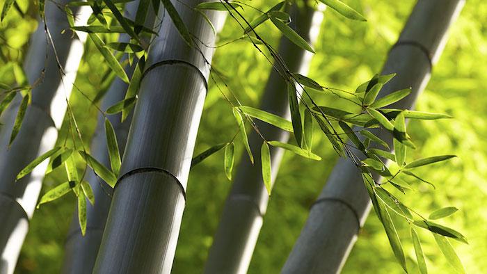 planter des bambous chaume de bambou noir haie de bambou