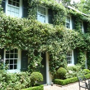 Le jasmin étoilé grimpant - la plante que vous devez avoir !