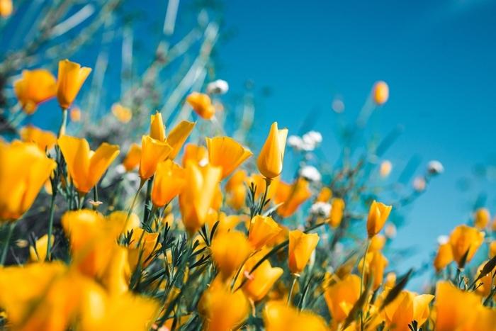 pucerons conseils de jardinage loisirs fleurs jaunes parasites solution anti puceron naturelle