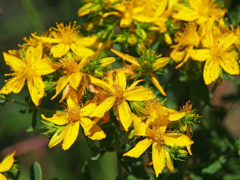quelle huile pour bronzer fleurs fraîches de millepertuis