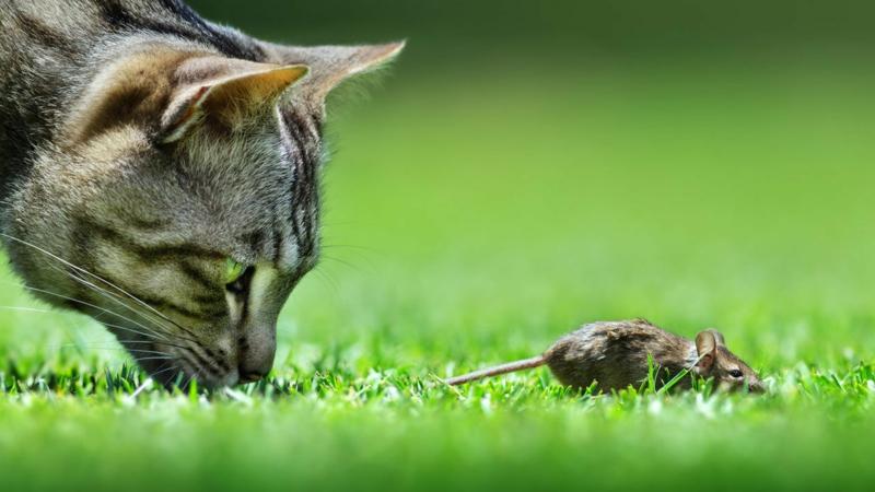 répulsif pour chat un chat gris qui chasse un souris