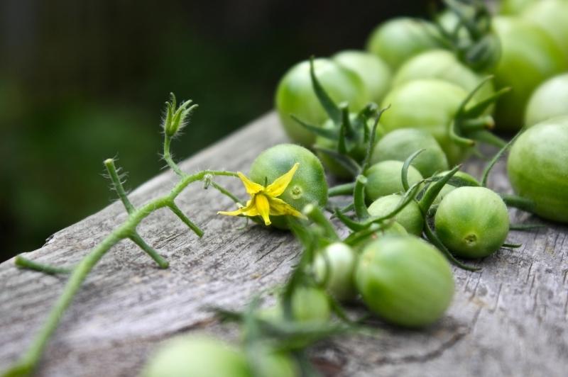 recette tomates vertes cultivation art culinaire récolte tomate mure variété verte