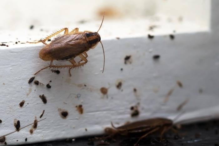 repulsif cafard maison comment lutter contre invasion cafards avec ingrédients naturels