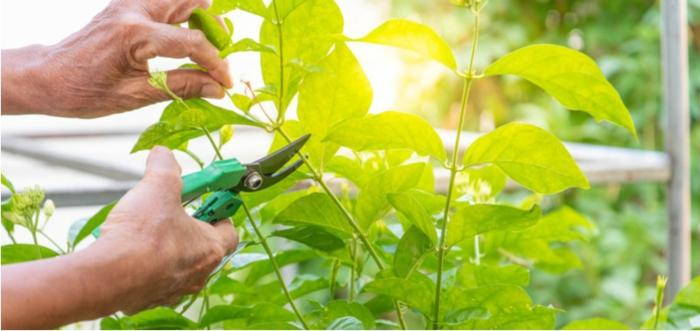 taille jasmin couper les feuilles vertes du jasmin