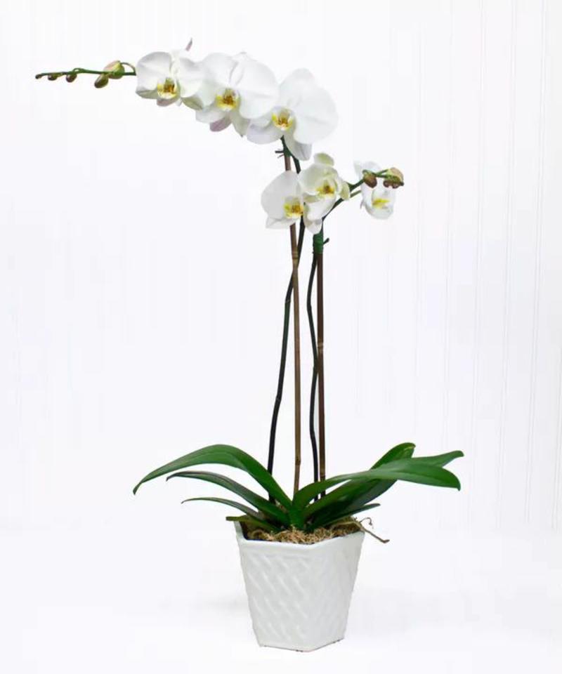 taille orchidée une orchidée qui possède deux tiges