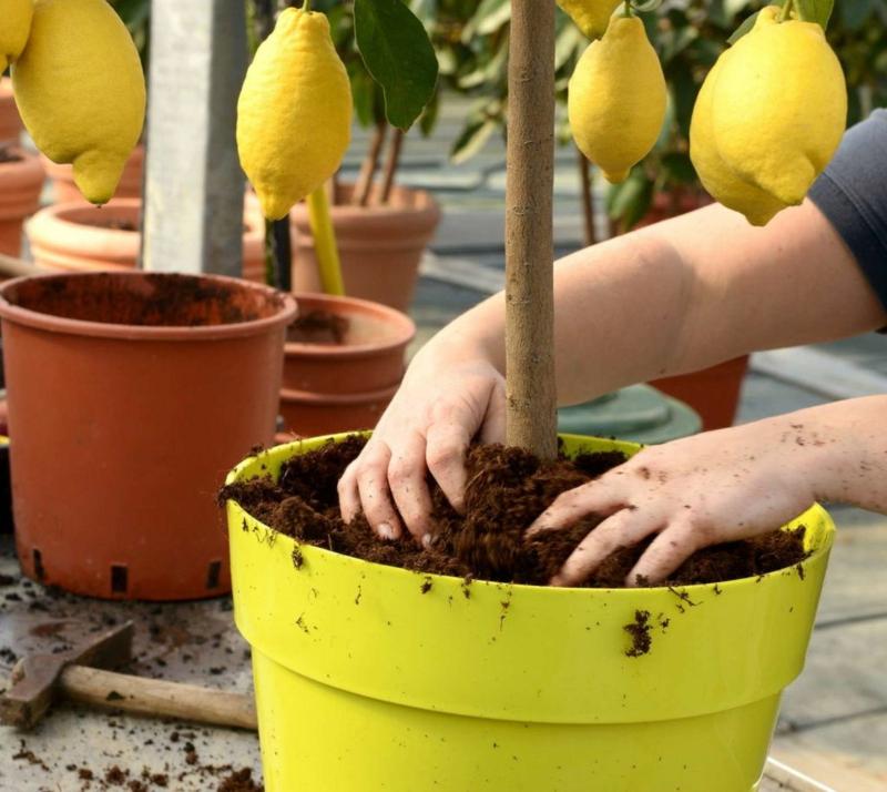 terreau pour citronnier un enfant qui plante un citronnier en pot