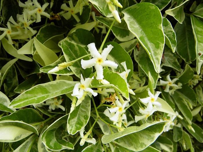 trachelospermum jasminoide jasmin étoilé grimpant avec des feuilles vertes et blanches