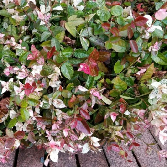 trachelospermum jasminoide jasmin grimpant étoilé avec des feuilles rouges