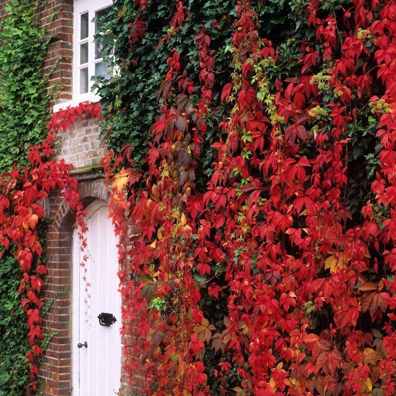 vigne vierge expece vegetal pour habiller un mur exterieur decoration automnale
