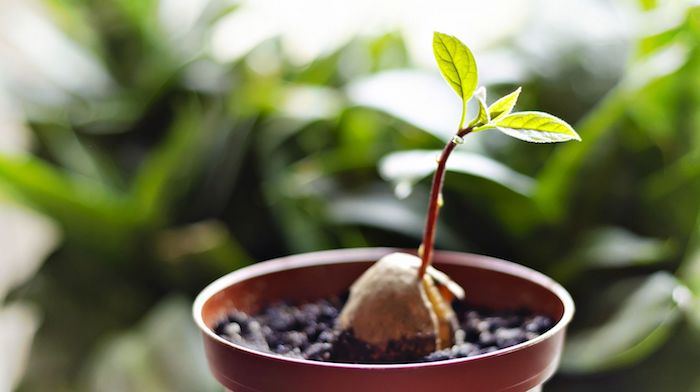 young fresh avocado sprout leaves grows how to grow an avocado from a seed ss featured