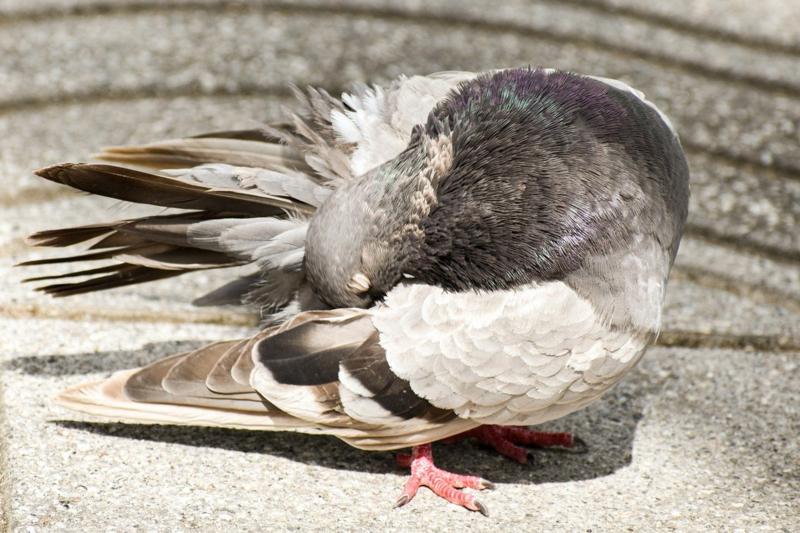 anti pigeon un pigeon qui nettoie ses plumes sur le toit