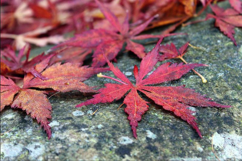 arbre à feuilles rouges plante qui perd ses feuilles