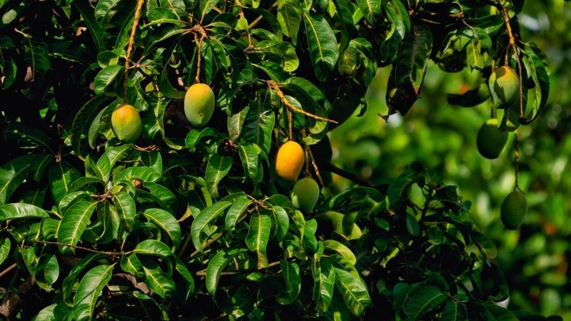 arbre exotique fruit tropical comment planter une mangue