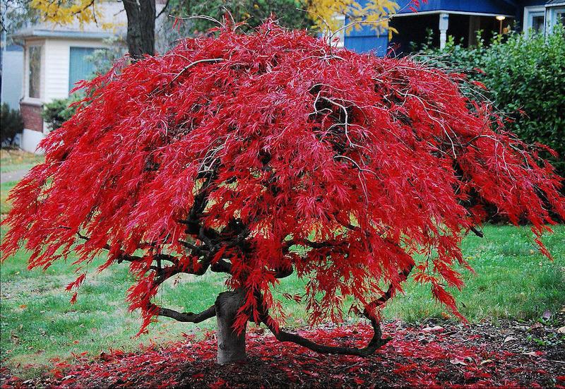 arbre feuille rouge plante d extérieur arable rouge