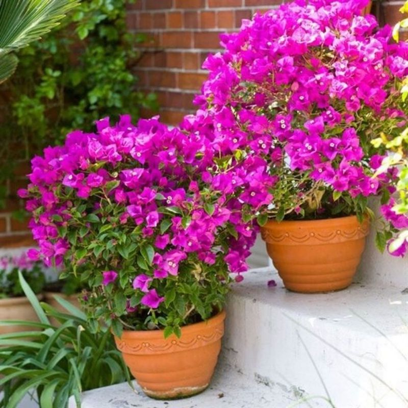 bougainvillier mur planté en pot plante d extérieur