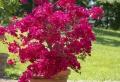 Bougainvillier en pot : tout ce qu'il faut savoir pour cultiver une jolie plante