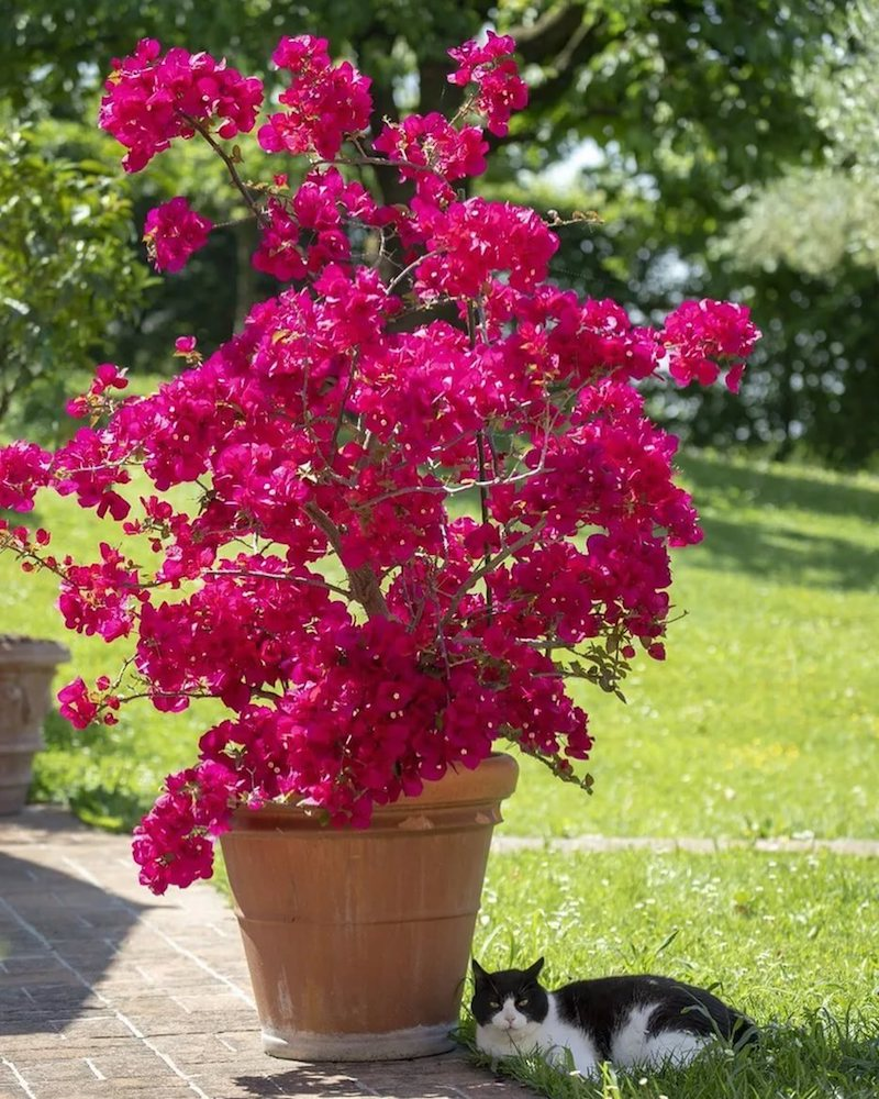 bougainvillier rouge planté en pot dans le jardin
