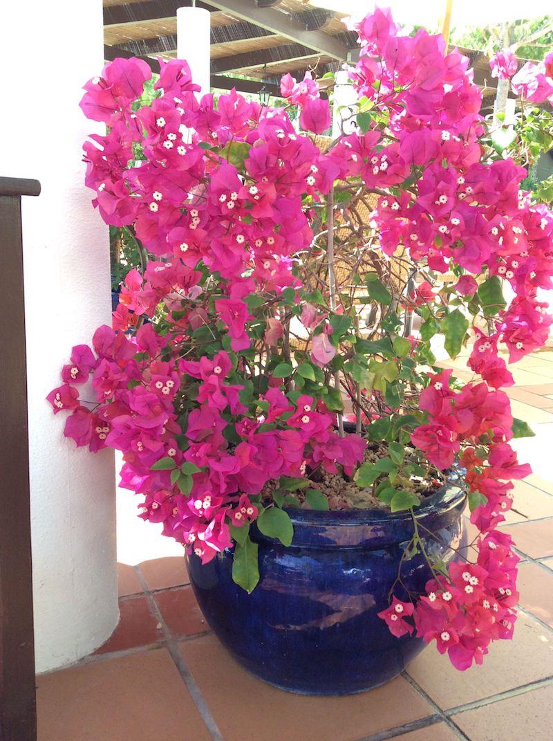 bougainvillier rustique plantation et entretien pour une jolie plante