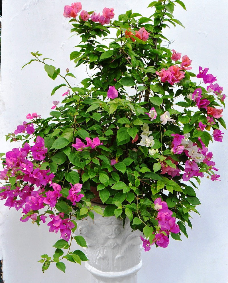 bouture bougainvillier comment le planter et soigner