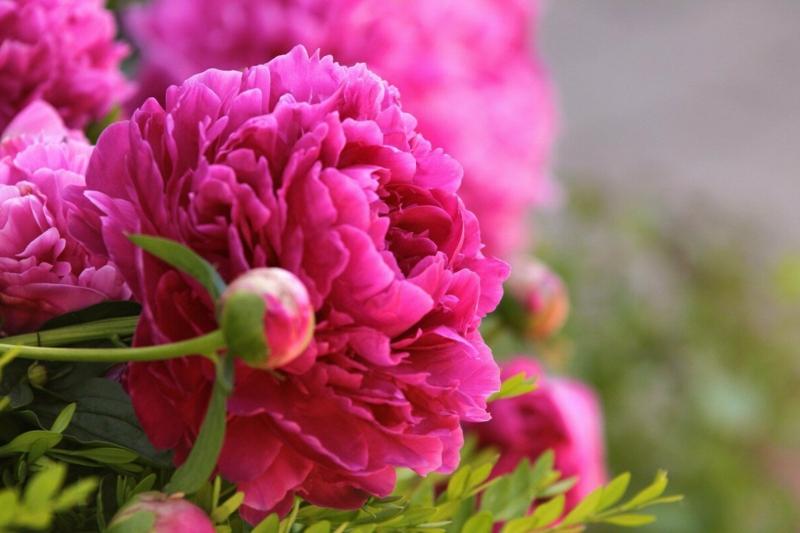 bouture pivoine une pivoine rose à forme double